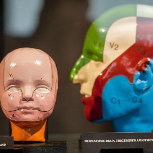 Blick auf zwei Modelle menschlicher Köpfe in der Anatomischen Anstalt