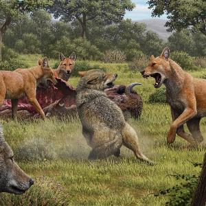 """Ein Rudel """"Schattenwölfe"""" (Canis dirus) frisst von einem Bison, während sich ein Paar grauer Wölfe (Canis lupus) in der Hoffnung auf Beute nähert."""