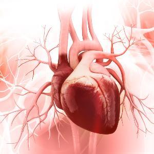 Anatomisch korrekte Darstellung eines menschlichen Herzens.