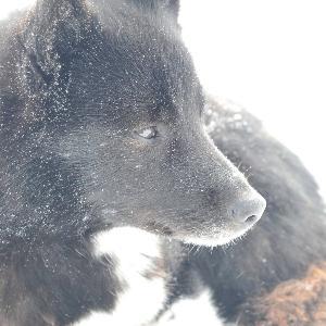 Nahaufnahme eines arktischen Hundes in einer Polarumgebung