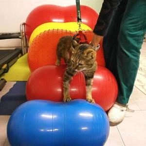 Katze bei der Physiotherapie.