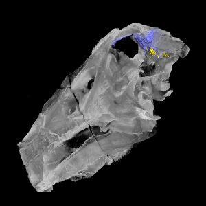 Computertomographie eines Spinosaurier-Schädels, farblich hervorgehoben sind das Innenohr (gelb) und eine damit assoziierte Gehirnregion.