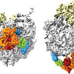 Bild einer kryo-elektronenmikroskopischen 3D-Rekonstruktion des Komplexes aus Ribosom und N-Acetyltransferase