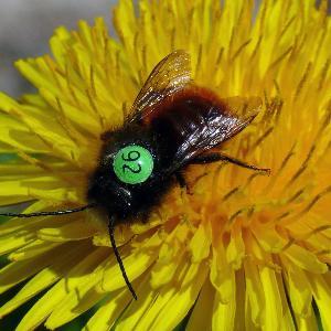 Markierte Biene auf einer Blume