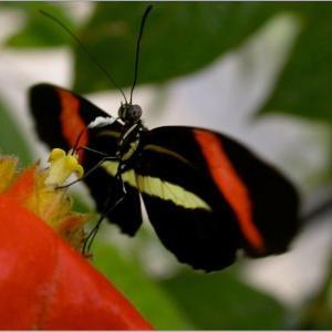 Heliconius melpomene auf einer Blüte