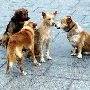 Straßenhunde beschnuppern sich